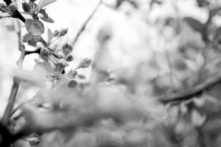 omenanpuun_kukkia_062016-32-of-34