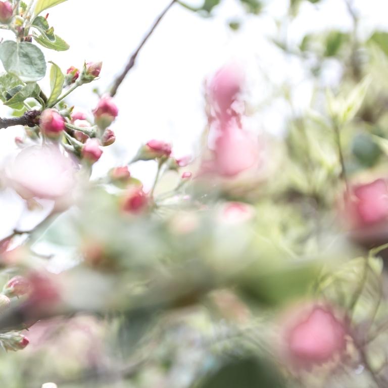 omenanpuun_kukkia_062016-34-of-34